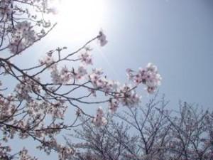 北千里公園 桜