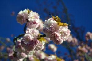 造幣局夜桜