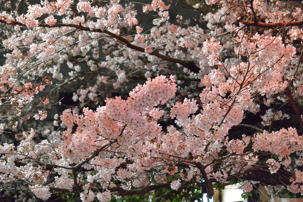 大阪府 池田市 五月山公園の夜桜